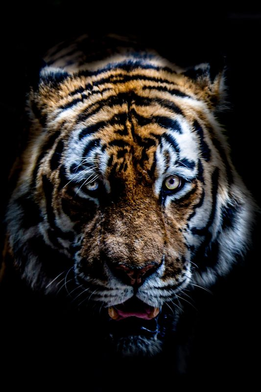 tijger blijdorp tiger